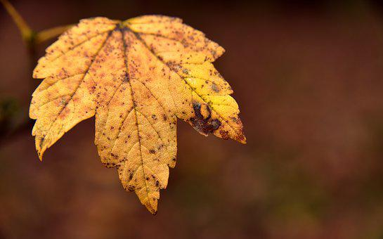 Leaf, Autumn, Maple Leaf, Old, Transient, Time