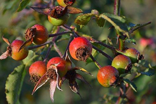 Rose Hip, Wild Rose, Roses, Fruits, Pods, Seeds, Autumn