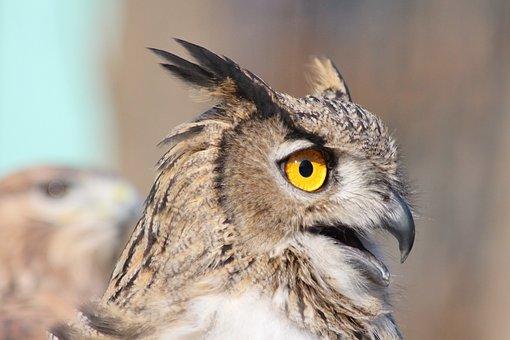Owl, Bird, Feathered Race, Animal, Wild, Zoo, Bubo Bubo