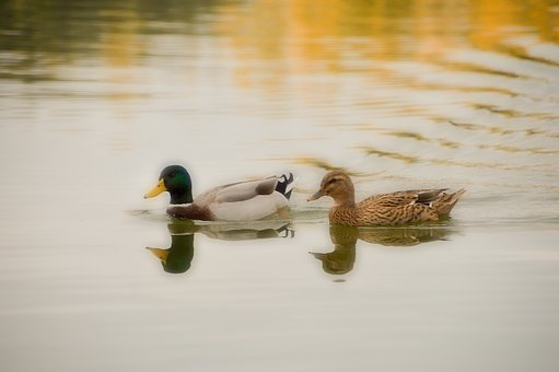 Bird, Palmiped, Duck, Animals, Lake, Wave, Fauna, Pond