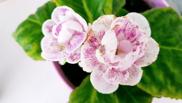 Gloxinia, Pot, Flower, Plant, Bloom, Nature, Macro