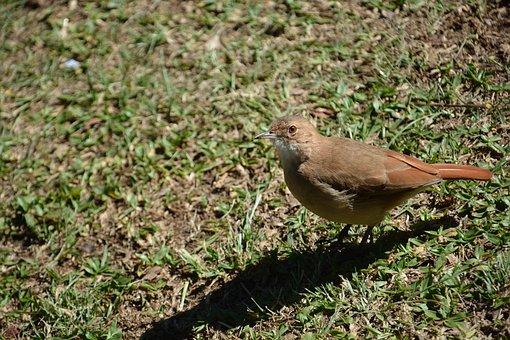 Bird, Birdie, Thrush, Brazilian, Tropical, Wild
