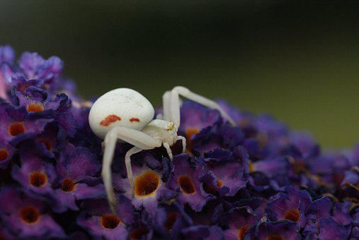 White Spin, Macro, Butterfly Bush, Bug