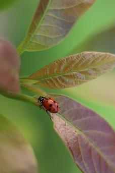 Ladybug, Insect, Coccinellida, Bug