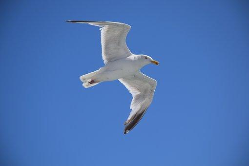 Seagull, Bird, Cormorant, Flying, Nature, White