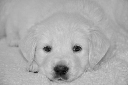 Dog, Puppy, Photo Black White, Adorable, Doggy, Pup