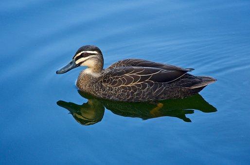 Duck, Swimming, Wild, Wildlife, Bird, Nature, Bill