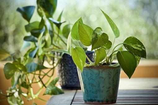 Plants, Pothos, Epipremnum Aureum, Ornamental Plants