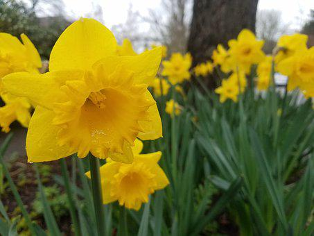Daffodil, Flower, Spring, Nature