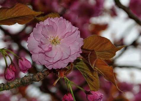 Spring, Pink, Flowers, Plant, Summer, Close Up, Natural