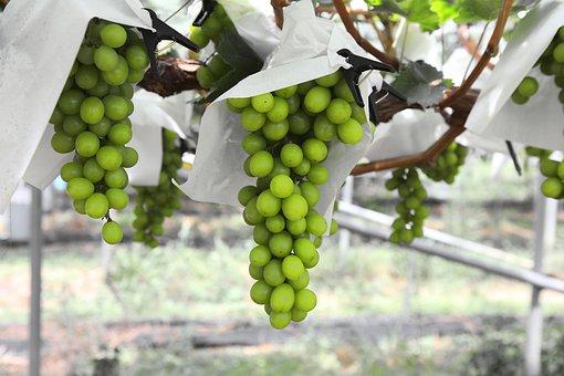 Grapes, Harvest, If Acid, Fruit, The Vine, Wines