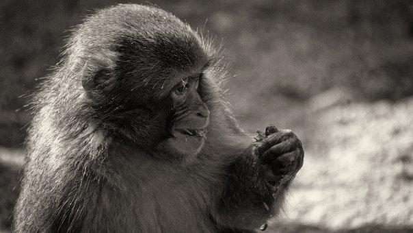Monkey, Black White, Primate, Zoo, Animal World, Funny
