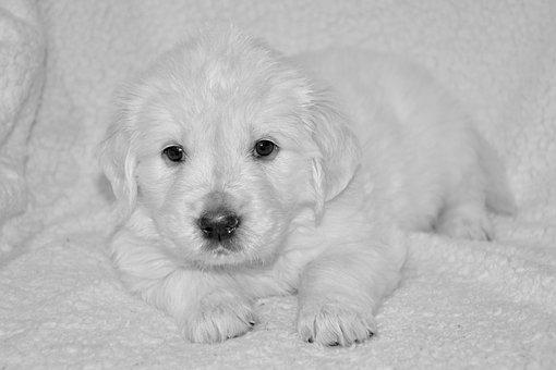 Puppy Dog, Golden Retriever Puppy