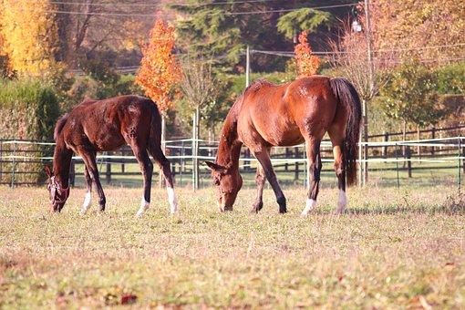 Horses, Pre, Fall, Grass, Mammals, Field, Animals, Mane