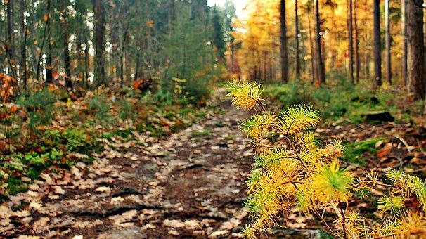 Sunrise, Coniferous, Dead, Drought, Autumn, Ground