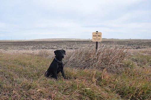 Lab, Black Lab, Black, Dog, Labrador, Purebred