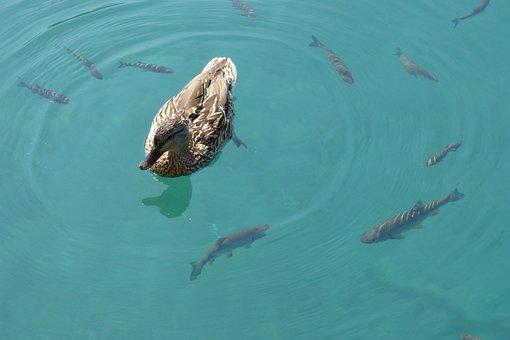 Duck, Fish, Wild Ducks, Water, Lake, Nature, Animals