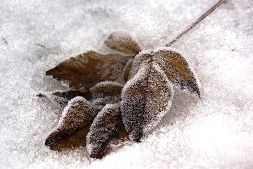 Winter, Leaves, Snow, Freezing, Nature, Tree, Sheet