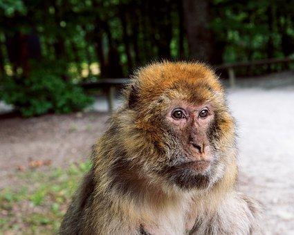 Monkey, Barbary Ape, Primate, Mammal, Animal