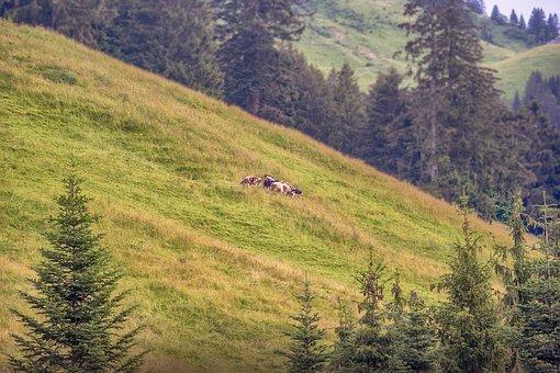 Prado, Mountain, Cows, Moleson, Alpine, Grass, Alps