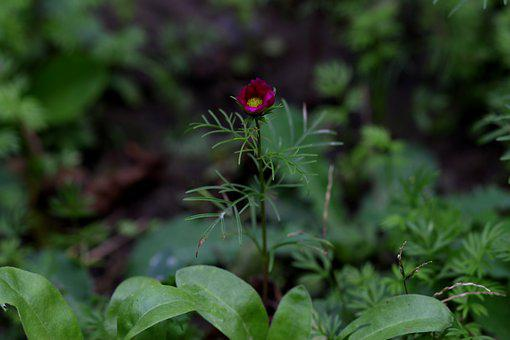 Flower, Garnet-red, Plant, Supplies, Nature, Flora