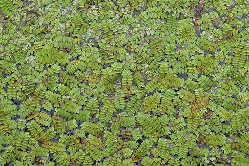 Lake, Plant, Nature, Flora, Algae Fern