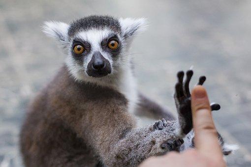 Lemur, Animal, Zoo, Monkey, Madagascar, Nature, Mammal
