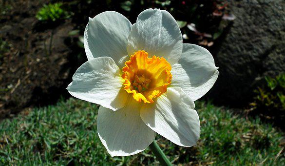 Flower, Narcissus, Spring, Garden, Nature, Blooming