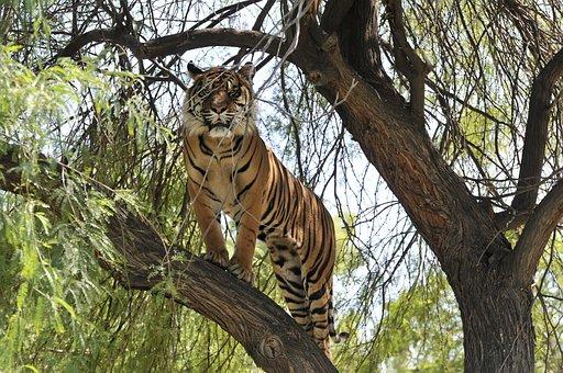Tiger, Animal, Mammal, Predator, Dangerous, Fur, Nature