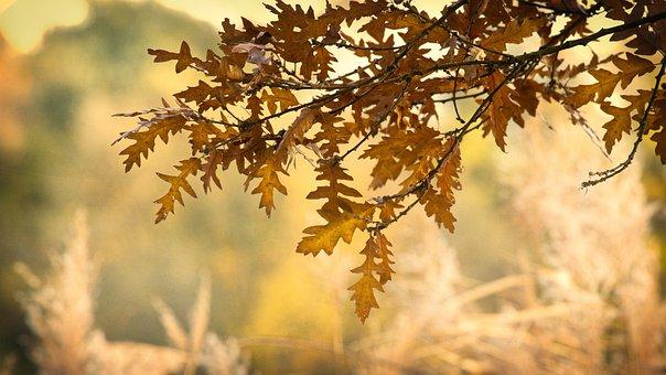 Oak Leaves, Autumn, Leaves, Nature, Oak, Of Course