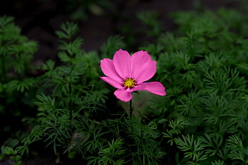 Flower, Pink, Plant, Supplies, Nature, Flora