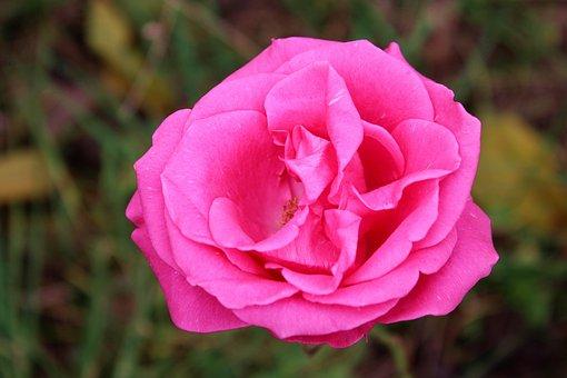 Flower, Rose, Pink, Nature, Romantic, Love, Flowers