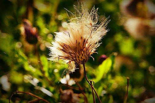 Thistle, Plant, Down, Composites, Bloom, Autumn
