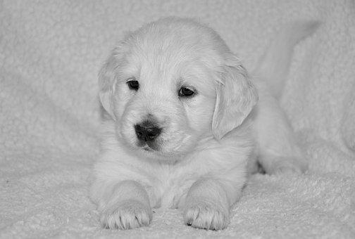 Puppy Dog, Bitch Golden, Golden Retriever Puppy