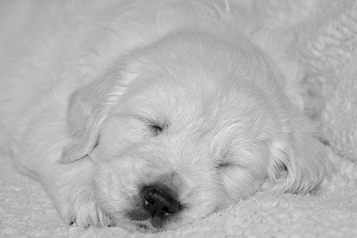 Puppy Dog, Golden Retriever Puppy, Puppy Sleeper