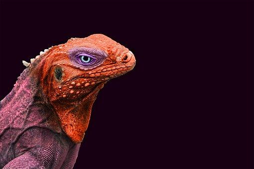Iguana, Animal, Color, Reptile, Lizard, Dragon, Head