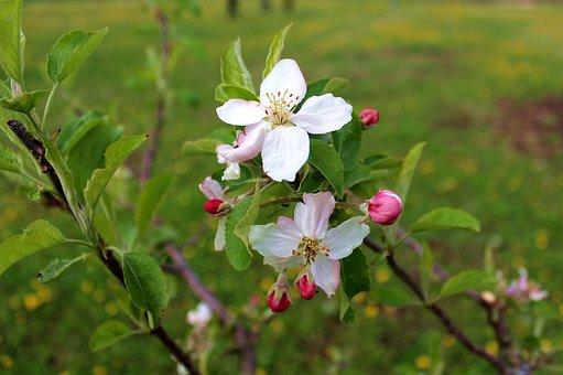 Flower, Pom, Flourished, Spring, Nature, Tree, White