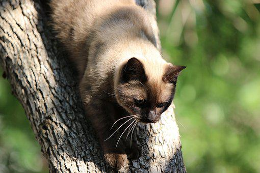 Cat, Siamese, Tree