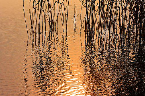 Rushes, Reeds, Plant, Water, Aquatic Vegetation