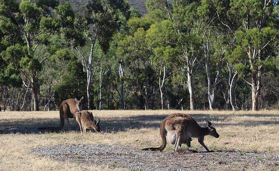 Kangaroos, Wild, Grazing, Conservation Park, Wildlife