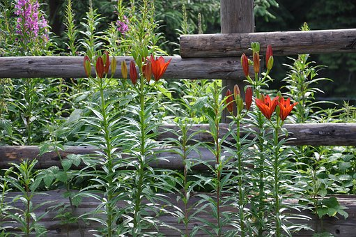 Flowers, Plants, Greens, Fence, Red, Wooden, Flower