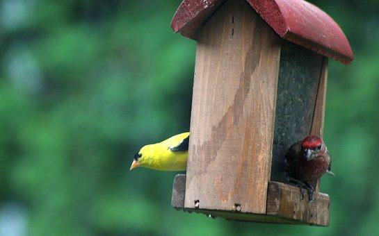 Birds, Finch, Yellow, Red, Goldfinch, Purple Finch