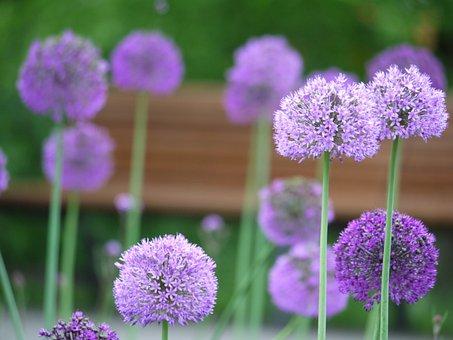 Riesen, Leek, Flowers, Allium Giganteum, Ball, About