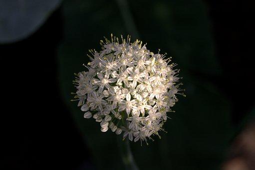 Onion, Onion Blossom, Allium Cepa, Amaryllidaceae