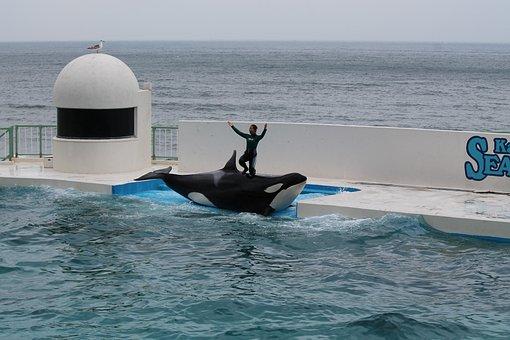 Seaworld, Aquarium, Killer Whale, Aquatic, Performance