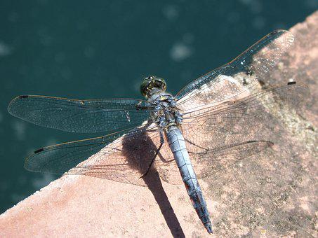 Blue Dragonfly, Wetland, Orthetrum Cancellatum
