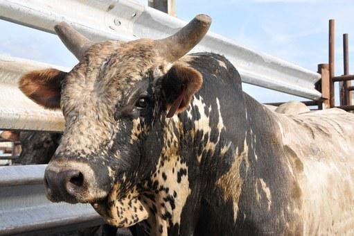 Bull, Rodeo, Bovine, Cow, Animal, Western, Ranch