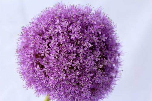 Allium, Purple, Ball, Flower, Close, Blossom, Bloom