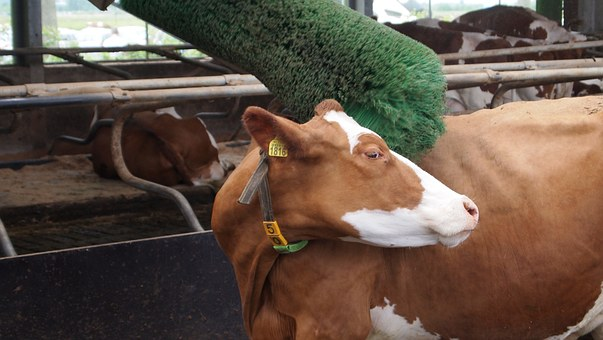 Roan Cattle Frieze, Cow, Cow Brush, Byre, Earmark