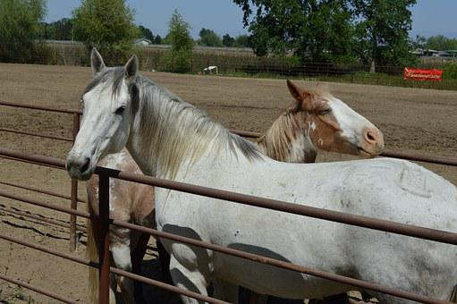 Talahi, Ruff Stock, Horse, Rodeo Stock, Face, Animal